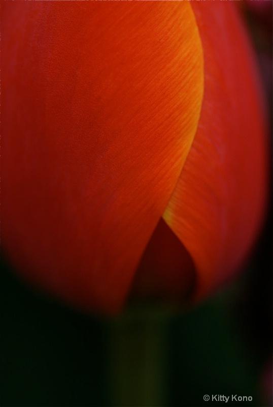 Red Tulip Saturated