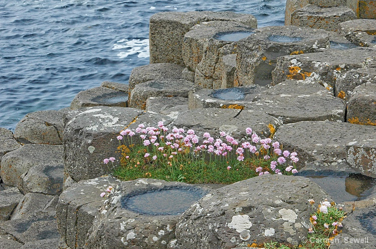 Giant's Causeway with Thrift