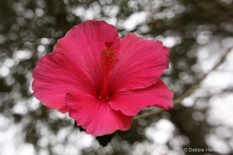 hibiscus tripod