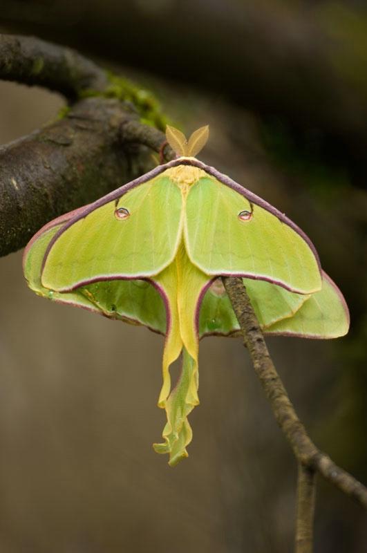 Luna Moth Pair