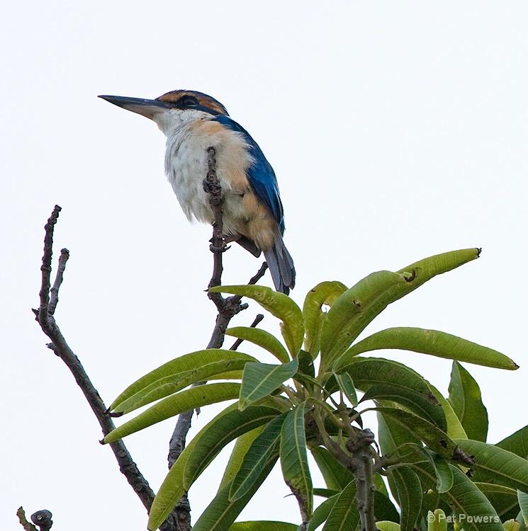Kingfisher, Fiji