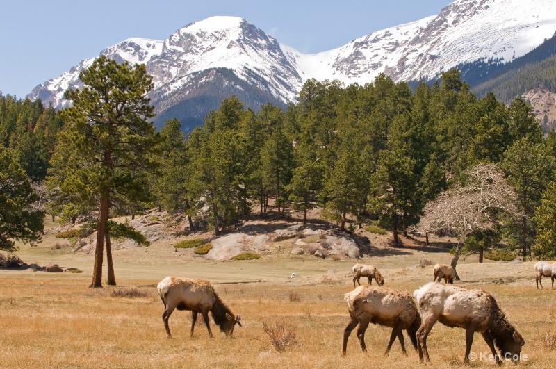 Elk in Colorado Mountains