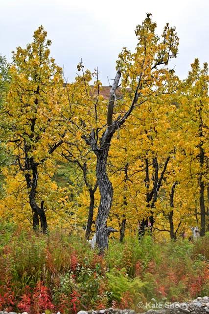Trees on the tundra