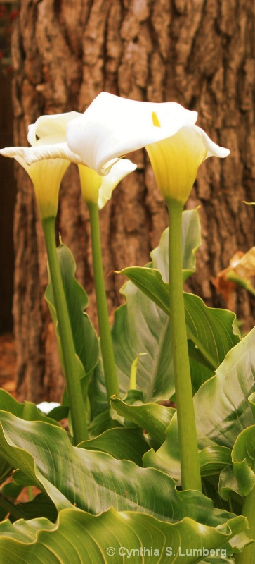 Calla Lilies in the Forest