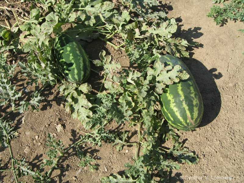 Watermelons in the field