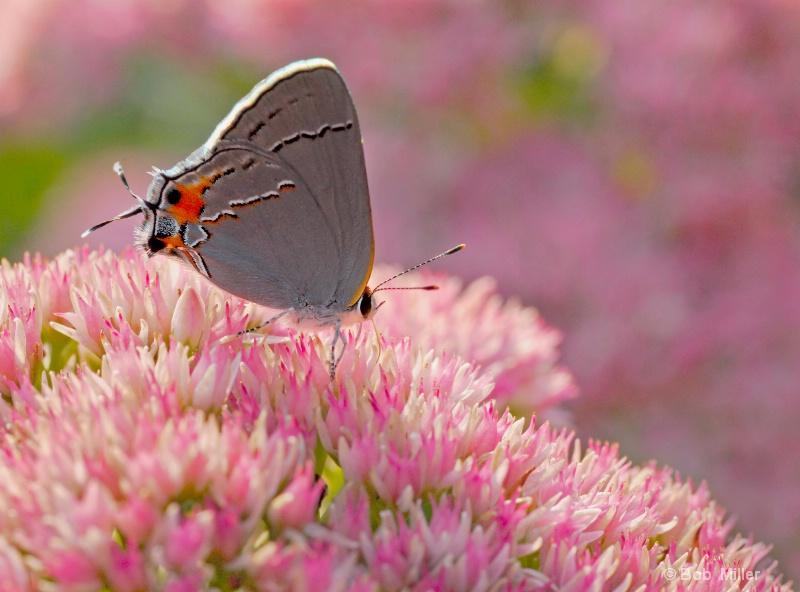 Greystreak Bitterfly