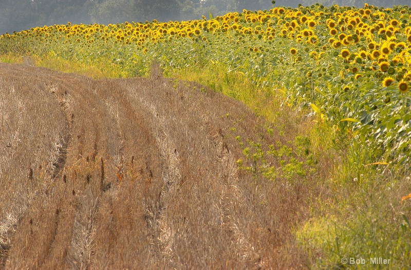 Field of Sunflowers- Sudlersville Md.