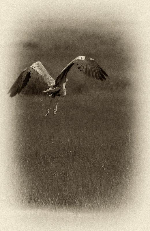 Great Blue Heron: Night Flight
