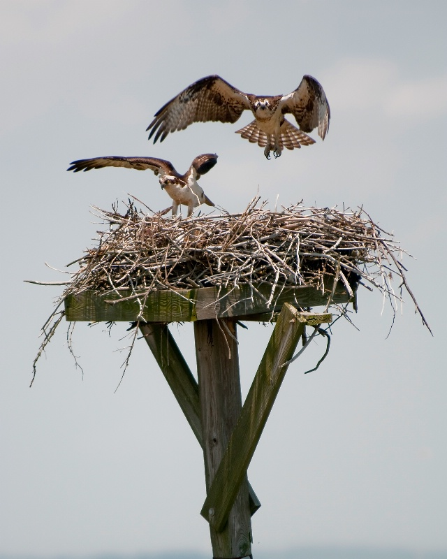 Excited Parents-to-Be (Osprey)