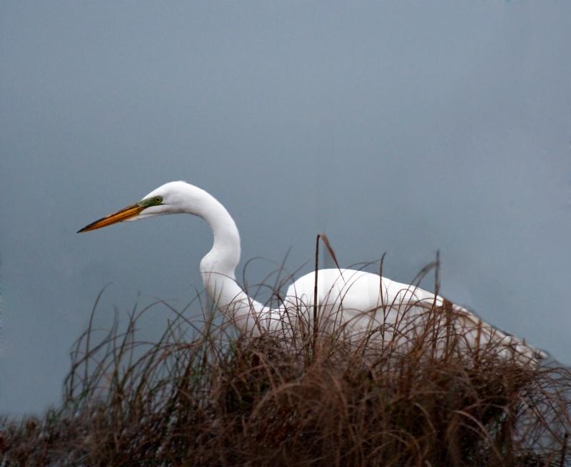 Egret - thinks he's hiding?