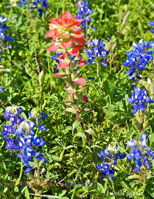 Indian Paintbrush and Texas Bluebonnets
