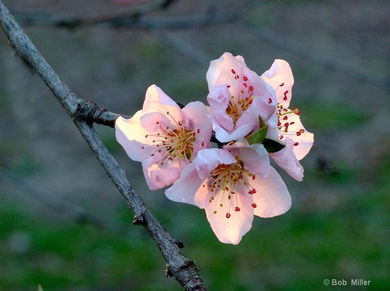 Backlit Apple Blossom