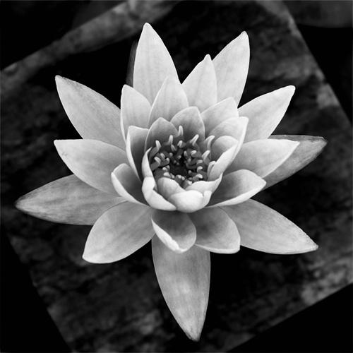 b&w water lil