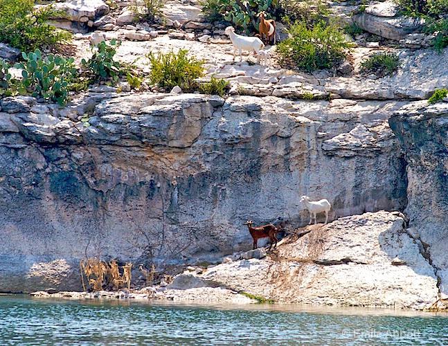 Goats along the shore of Lake Amistad