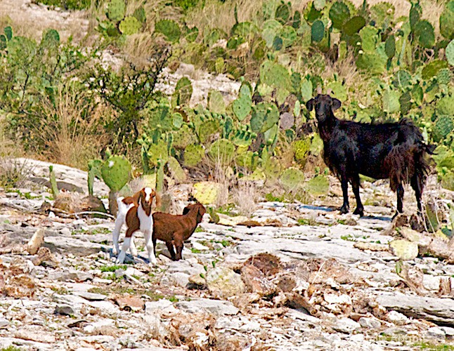 Billy Goat and his kids