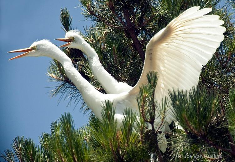 Pre flight Egrets