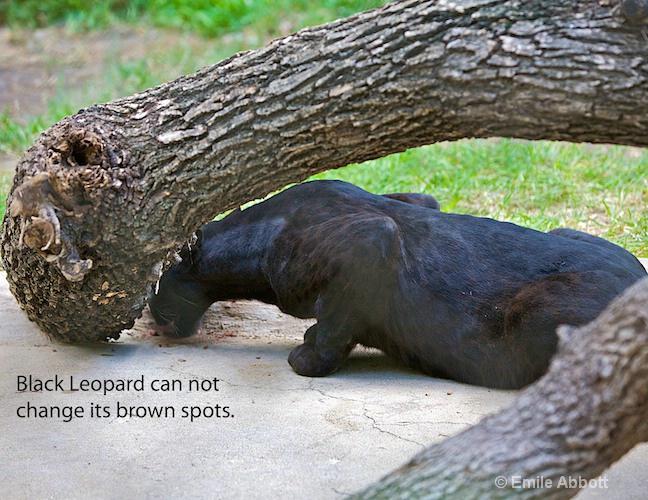 Black Leopard has brown spots