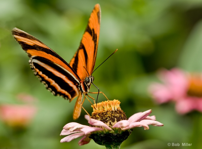 Isabella Tiger Butterfly