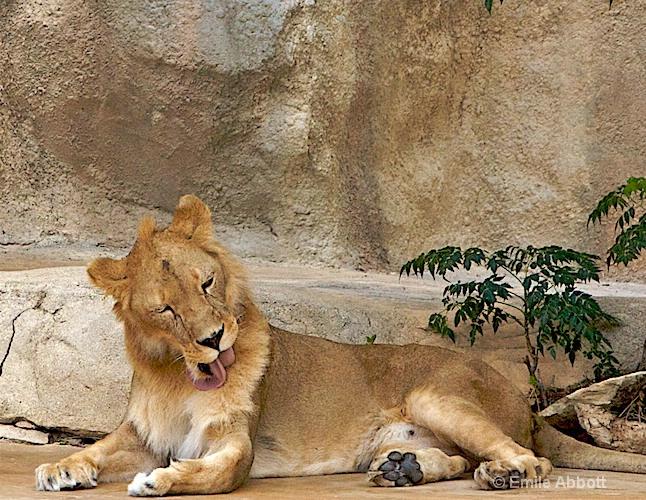 Grooming Lion