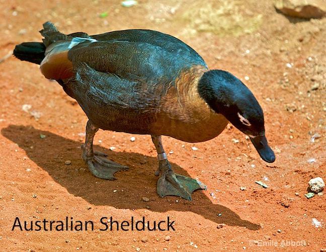 Australian Shelduck
