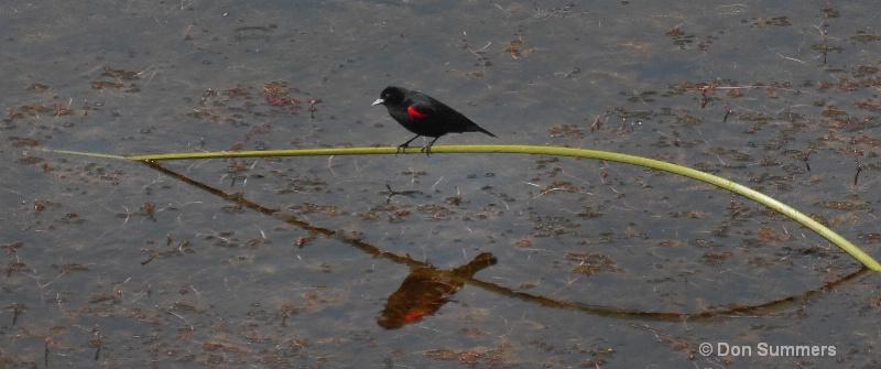 Red Wing Black Bird, Marin County CA 2009