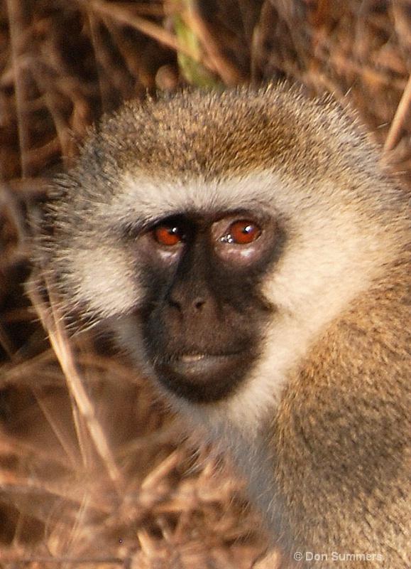 Monkey, Akagera N.P. Rwanda 2008