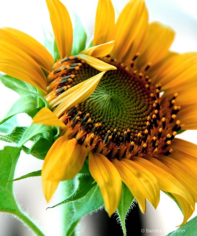 Sunflower Salute
