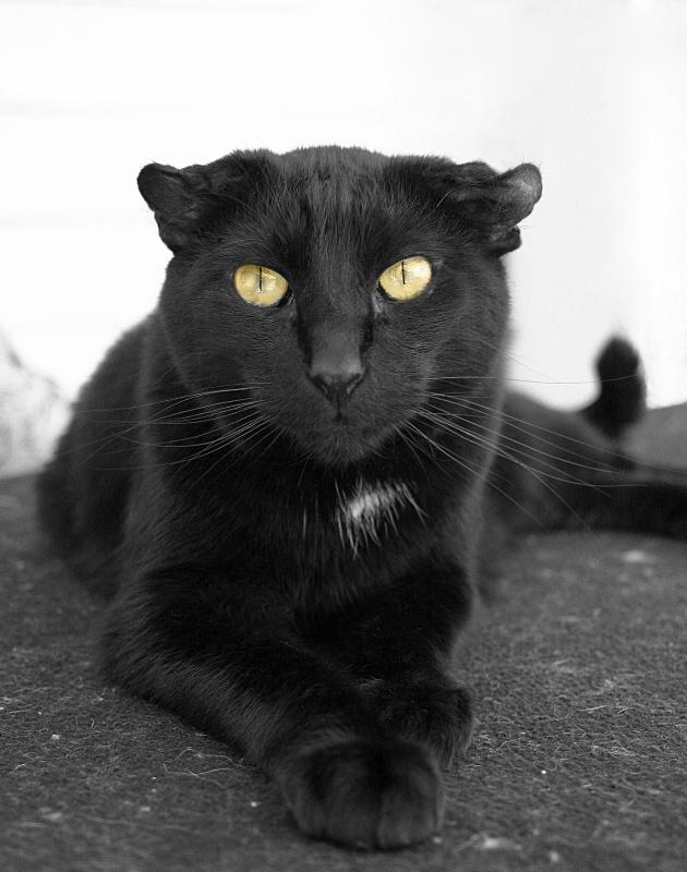 Gilbert, The Urban Panther