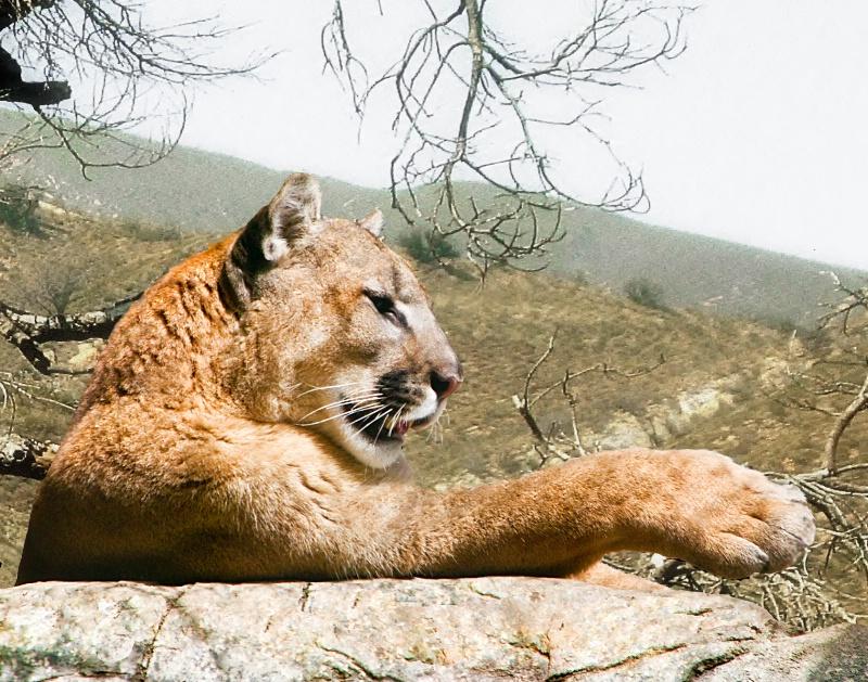 So. California Cougar