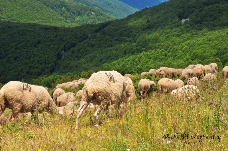 Sheep of Galichnik - Macedonia