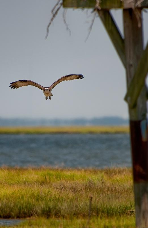 Honey, I'm Home! (Osprey returning to nest)