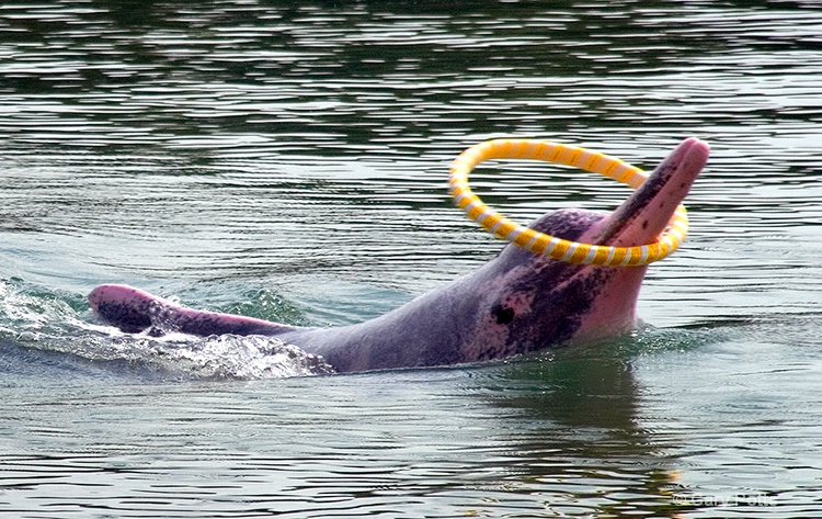 Sentosa Dolphin Antics