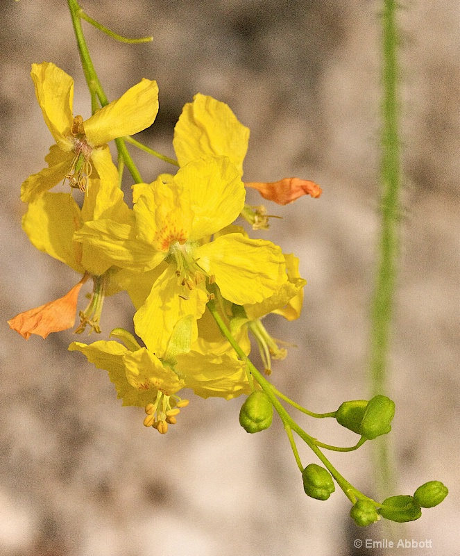 Flower from Mexican Palo Verde