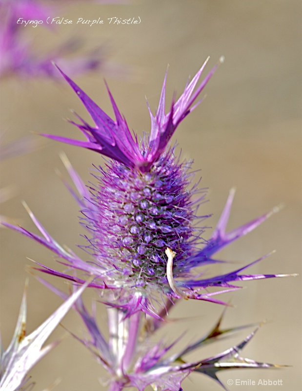 False Thistle