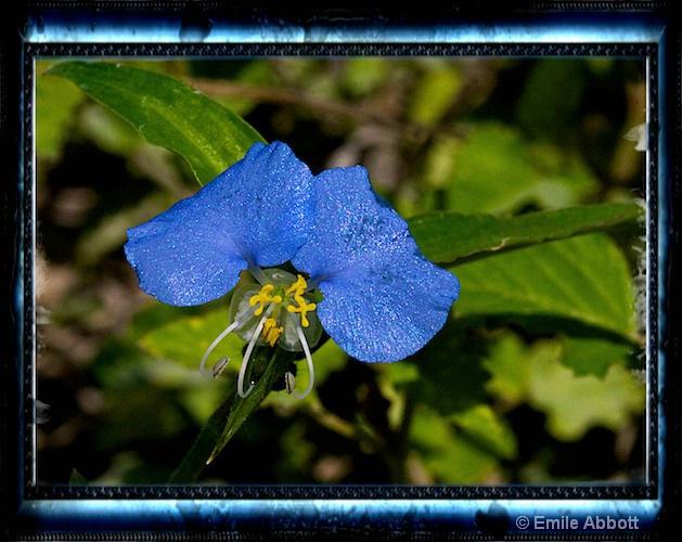 Dayflower (Commelina communis_