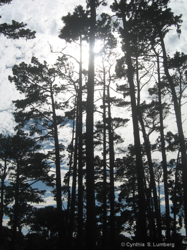 Pine Forest. . .