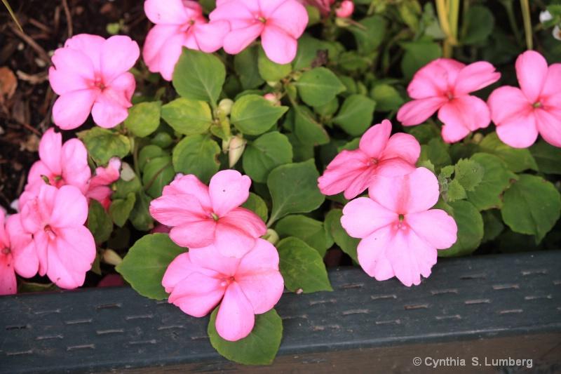 Cynthia's Garden 2