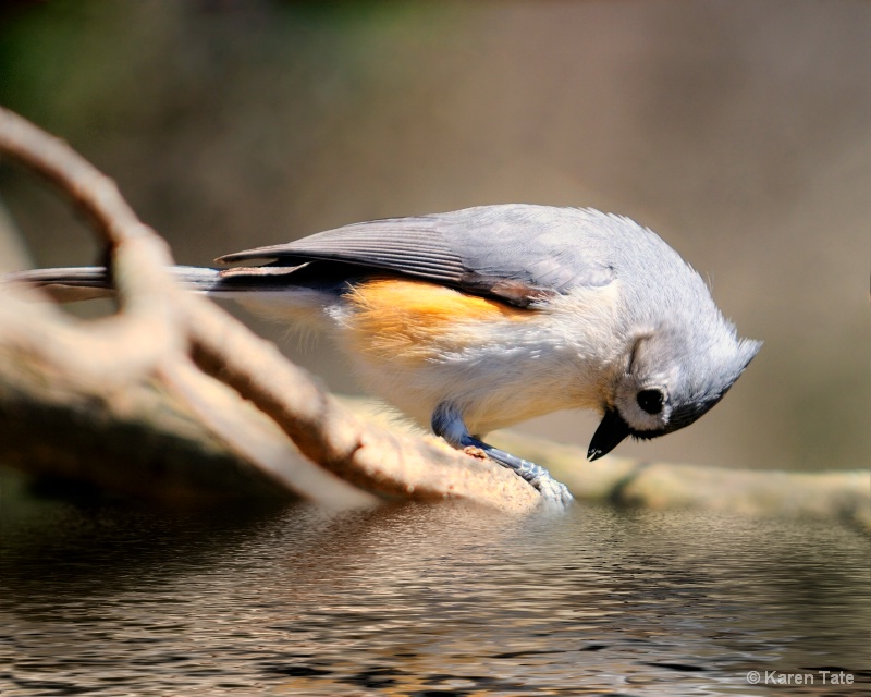 Uh oh... (Tufted Titmouse)