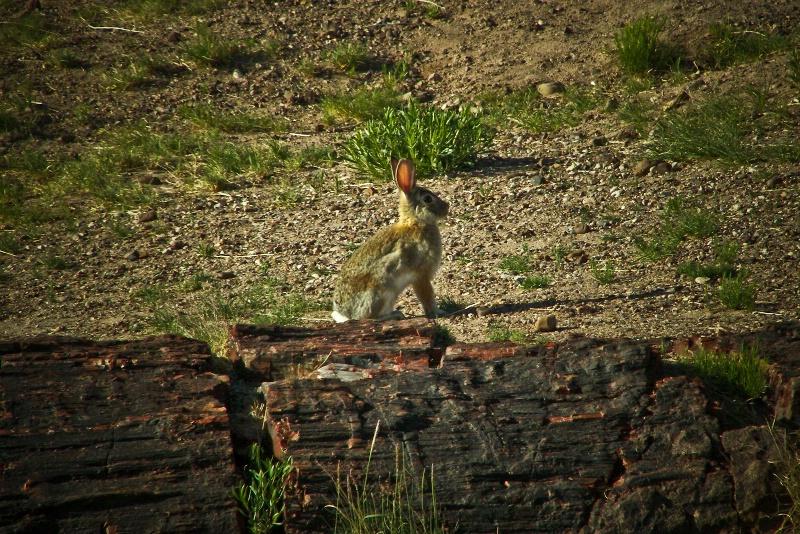 Petrified Jack, Petrified Forest-AZ