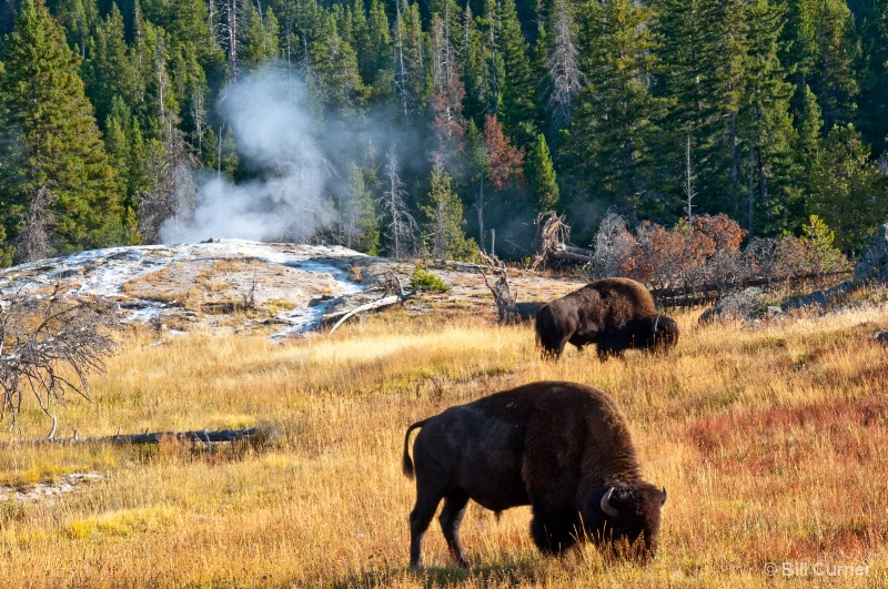 Bison at Yellowstone - Old Faithful