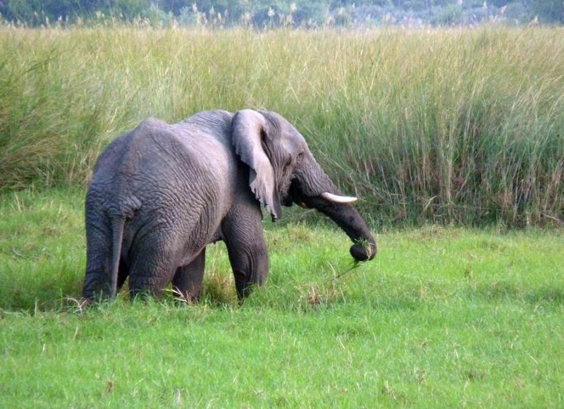 Old elephant, Kwetsani, Botswana