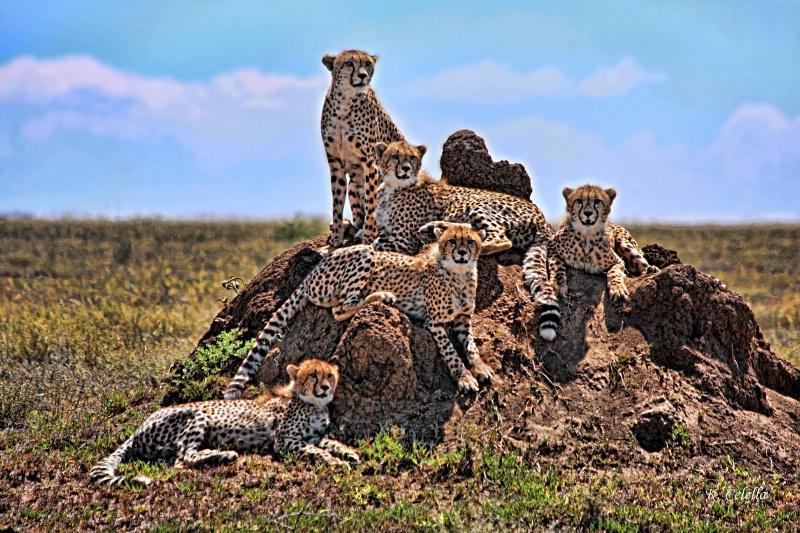 Cheetah Family Portrait