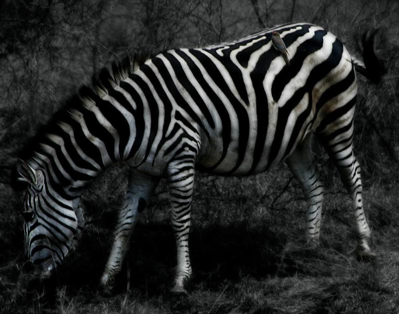 Mystic Zebra