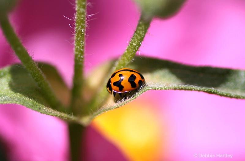 Hidden Ladybird