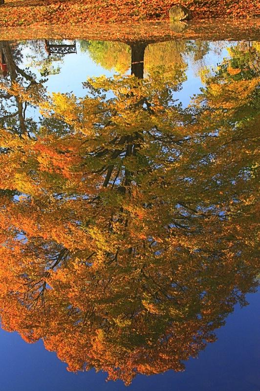 Maple Reflection