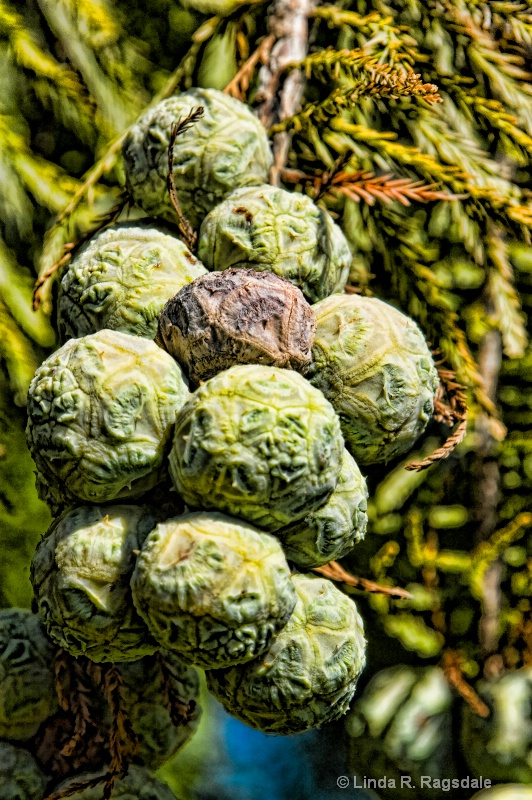 spicified Cypress pods