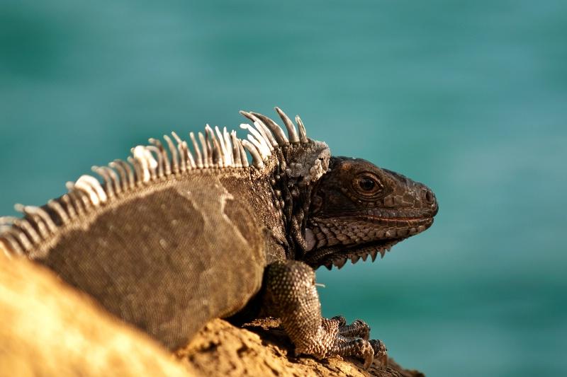 Iguana, Virgin Islands