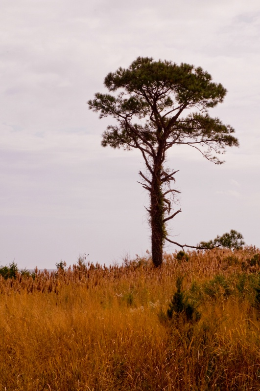 Southern Maryland Tree