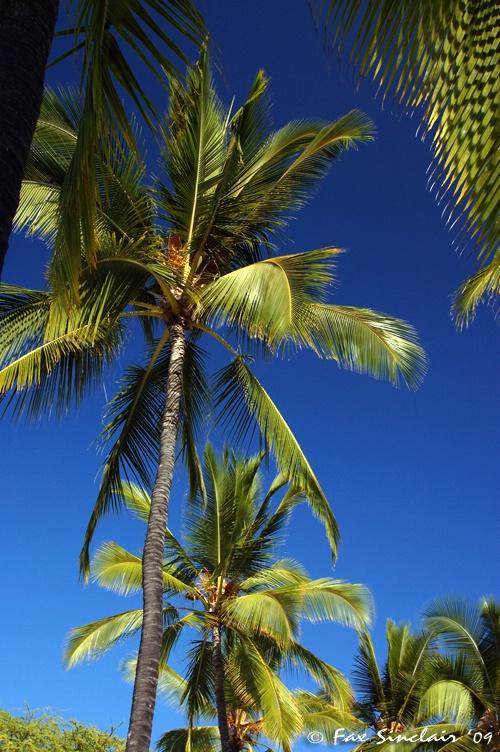 Honaunau Palms