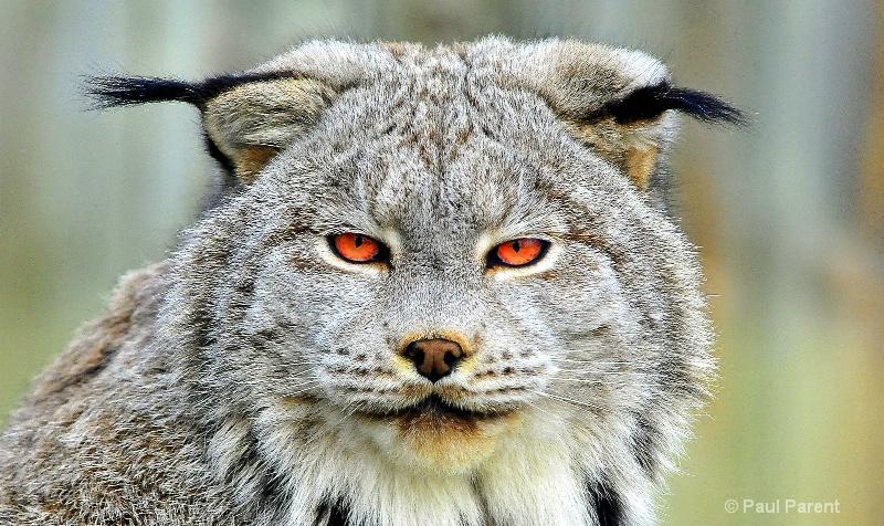 Red Eye's Bobcat